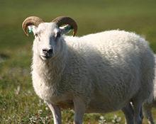 220px-Icelandic_sheep_summer_06