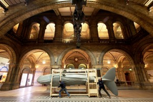 Seven Metre Long Sperm Whale Arrives For Natural History Museum Exhibition
