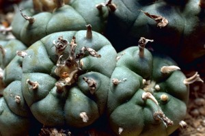 800px-Peyote_Cactus