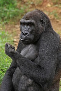400px-Gorilla_Stacktime